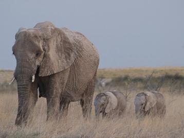 Olifantjes in Namibië