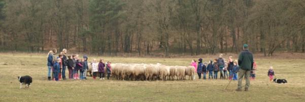 De kinderen mogen helpen bij het schapen drijven